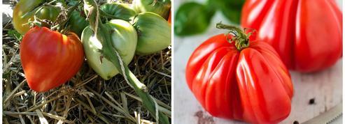 Comment reconnaître la vraie tomate Cœur de bœuf?
