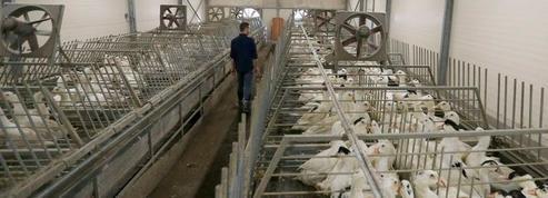 Sud-Ouest : la production de foie gras va s'arrêter pendant 4 mois