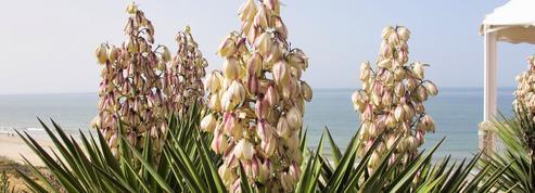 Yuccas, plantes du nouveau monde