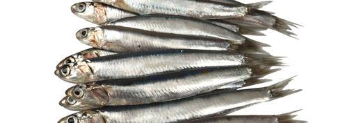 L'étrange amaigrissement des anchois et sardines de Méditerranée