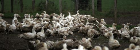 Foie gras: une filière sous le choc