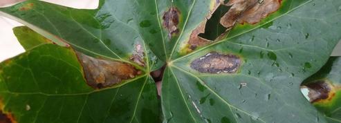 Les feuilles de mon lierre brunissent, pourquoi ?