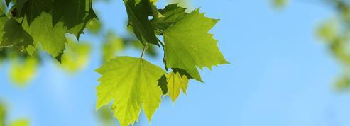 Rable derni res actualit s et vid os sur le - Mon olivier perd ses feuilles ...