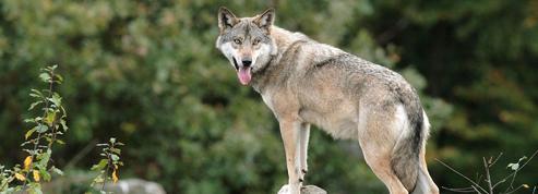 Loups: l'autorisation de la chasse ne réduit pas le braconnage
