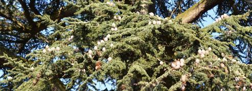 Cochenilles: comment protéger un cèdre parasité ?