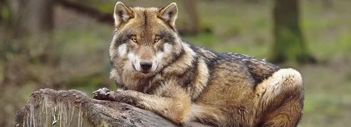 Tous les chiens descendent du loup