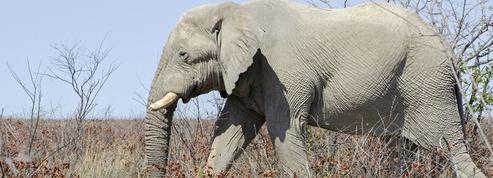Éléphants : entre massacres et espoir