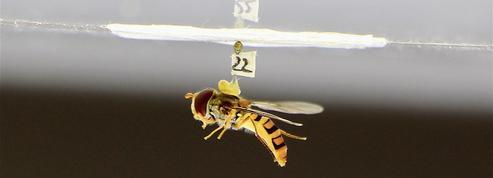 La stratégie de la mouche en chute libre au service du pilotage de drones autonomes