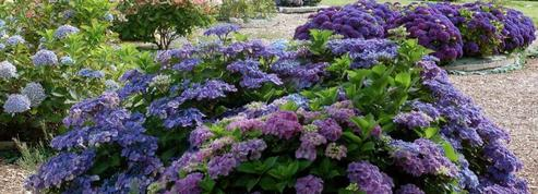 Jardin Shamrock: le paradis normand des hortensias
