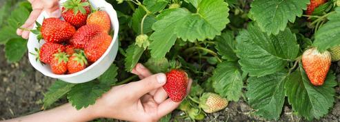 Jardin: préparez votre prochaine récolte de fraises