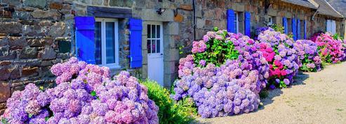 Jardin: des astuces pour obtenir de beaux hortensias