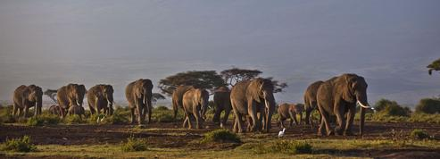 Éléphants: un déclin dramatique à cause du braconnage