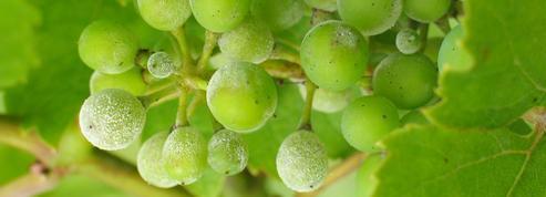 Vigne: comment lutter contre l'oïdium ?