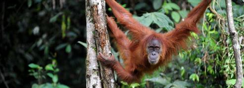 Les grands singes sont capables d'anticiper nos erreurs