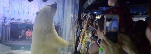 L'ours «le plus triste du monde» quitte provisoirement son centre commercial