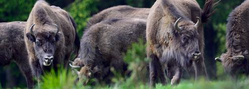 Le bison, ce vieil Européen sensible au climat