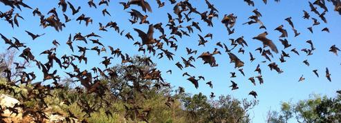 Pour chasser, les chauves-souris disent «O»