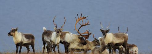 Au Canada, le caribou est en voie de disparition