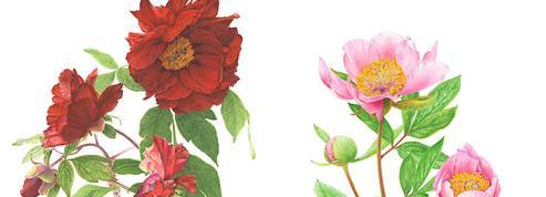 Pivoines: des aquarelles pour pérenniser l'éphémère