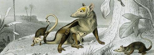 L'opossum de Cuvier qui n'en était pas un