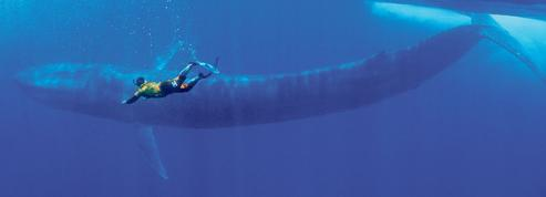 Les baleines bleues menacées par le trafic des cargos