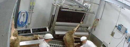 Abattoirs: faut-il revoir le statut juridique de l'animal?