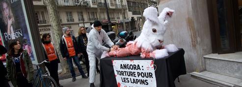 Des associations dénoncent l'épilation de fourrure de lapin angora