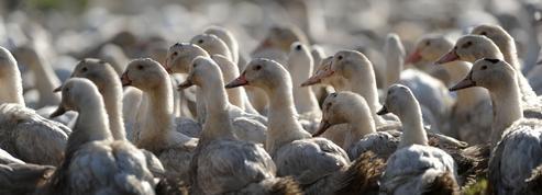 Les 600.000 canards encore vivants dans les Landes vont être abattus