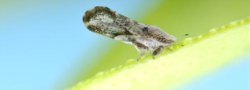 Des lasers anti-insectes pour protéger les agrumes