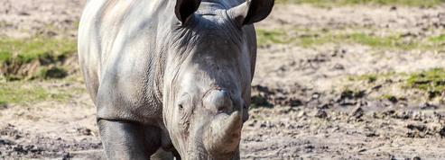 Braconnage: les zoos français vont-ils décorner leurs rhinocéros ?