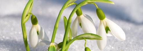 Fleurs du printemps, l'incroyable diversité des perce-neige