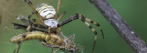 Les araignées, des goulues bien utiles