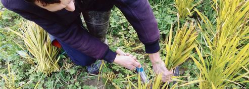 À l'automne, près de Dinan, on aura la première récolte de riz… 100% breton