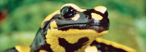 Un champignon tueur de salamandres