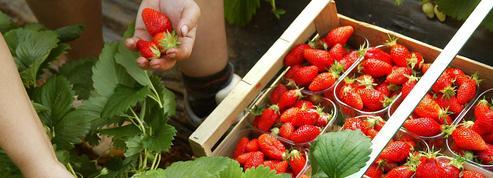 La gariguette résiste à la fraise espagnole