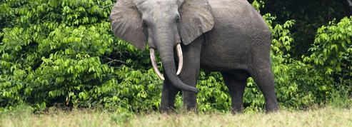 L'éléphant géant d'Europe, un ancêtre des cousins africains