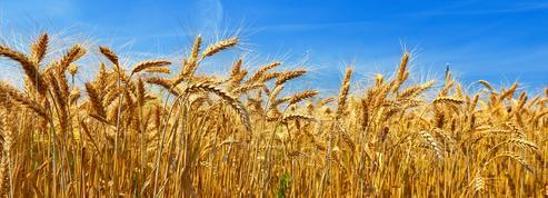Après le cauchemar des pluies de 2016, les producteurs de blé plus optimistes