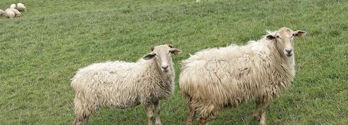 Comment l'homme a mis de la laine sur le dos des moutons