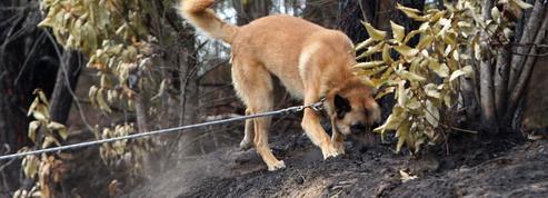 Des odeurs de synthèse pour les chiens renifleurs de cadavres