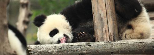 Cinq raisons de mépriser les pandas