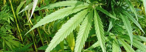 Lyon : des policiers détruisent une œuvre de chanvre, prise pour du cannabis