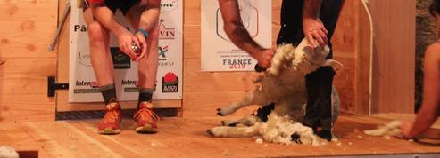 1328 agneaux tondus en 9 heures : nouveau record de France établi à Dorat