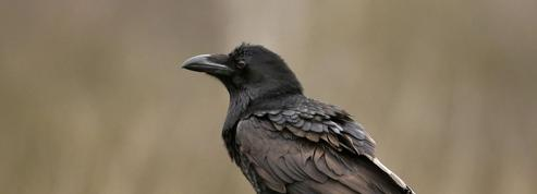 Les corbeaux, as de la planification et du self-control