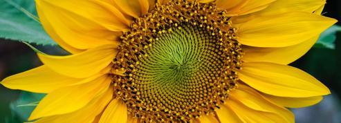 Tournesol, le soleil des jardins