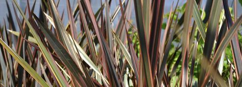 Lin de Nouvelle-Zélande, pour la beauté de ses feuilles
