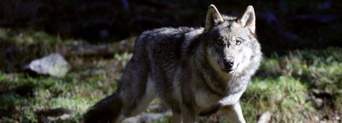 Élevage: l'écologiste José Bové s'en prend à nouveau au loup