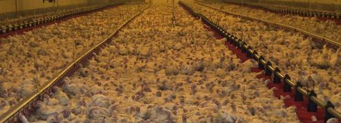 Une nouvelle vidéo choc de L214 dans un élevage de Doux