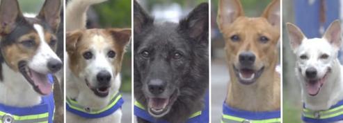 En Thaïlande, un «gilet intelligent» qui permet aux chiens errants de monter la garde