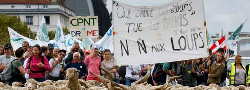 Plan loup : pourquoi les éleveurs sont en colère