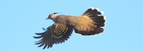 Une espèce de pigeon qui «parle» avec les ailes